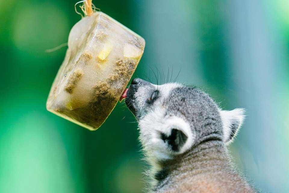 A ring-tailed lemur licks an ice cake in