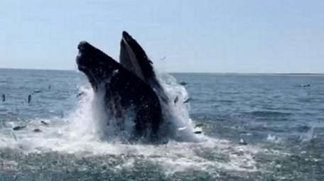 A humpback whale spotted Sunday in the Atlantic