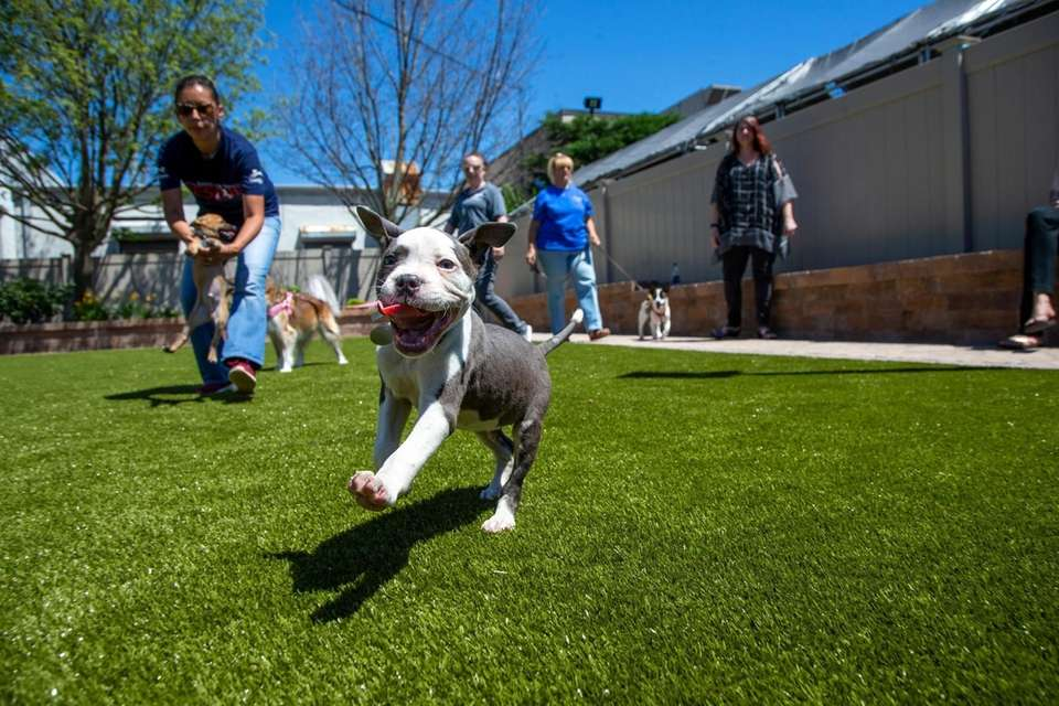 Puppies play during the opening of LaRocca Dog