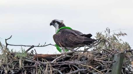 An osprey with litter around its chest in