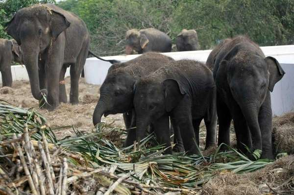 Elephants are fed fresh sugarcane at the elephant