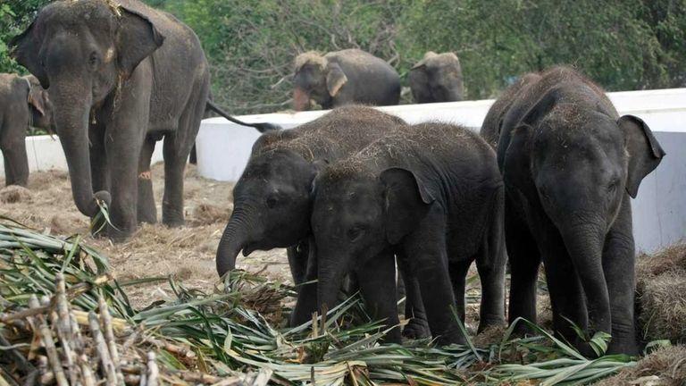 Elephants are fed fresh sugarcane at the elephant