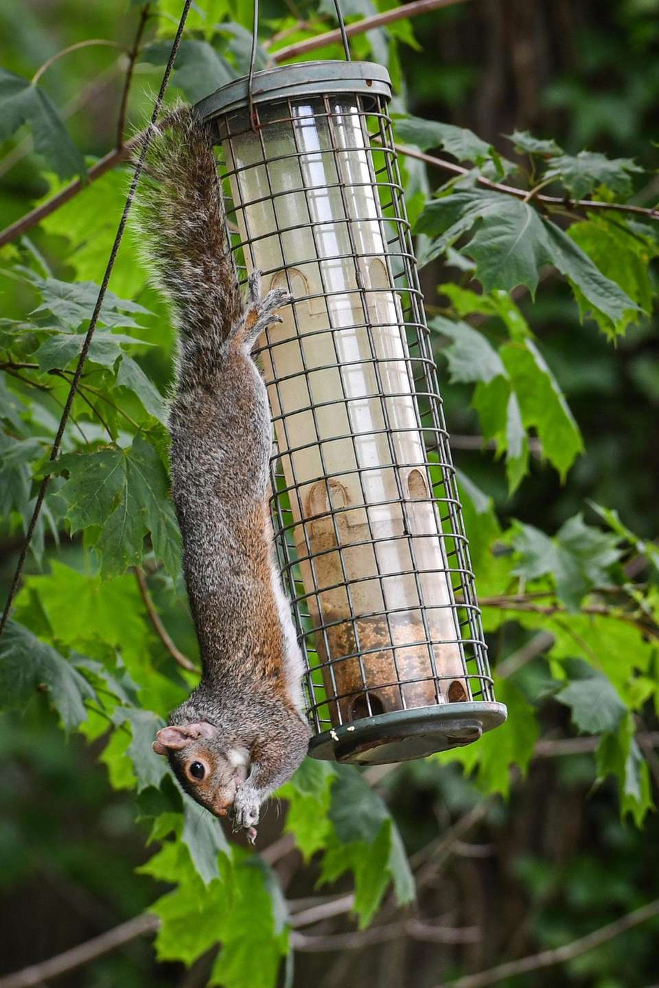 A squirrel eats from a bird feeder on