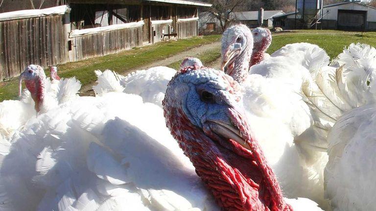 Breeding tom turkeys mill around outside at Raymond's