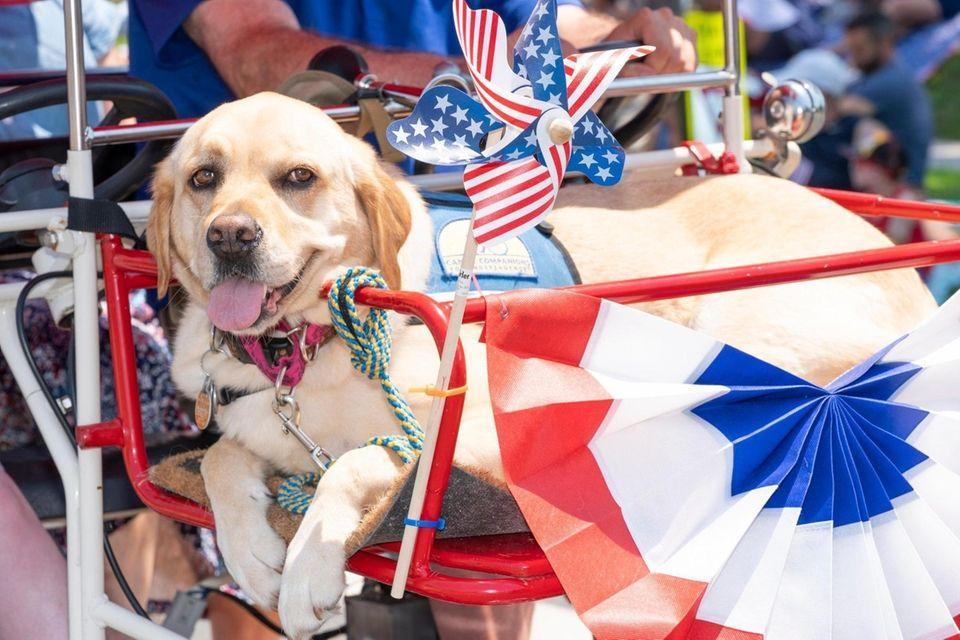 A canine companion service dog gets a ride