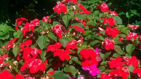 New Guinea impatiens' flowers can become