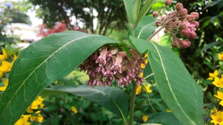 Common milkweed is a tender perennial that self