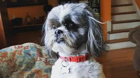 Rikki, a shih tzu photographed by owner Dina