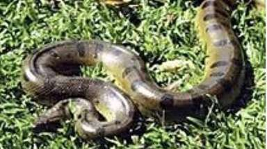 The yellow and brown Anaconda, a 9-foot constrictor,
