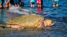 Munchkin, a rescued 330 pound loggerhead sea turtle,