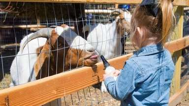 A child bottle feeds a goat at the