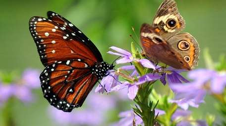 A monarch butterfly and a moth on a