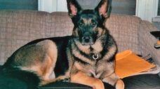 Julie Molesse's German shepherd Moose, when he was