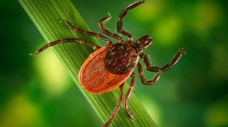 Blacklegged ticks are vectors for the zoonotic spirochetel