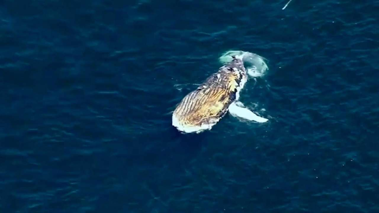 A deceased humpback whale was found floating in