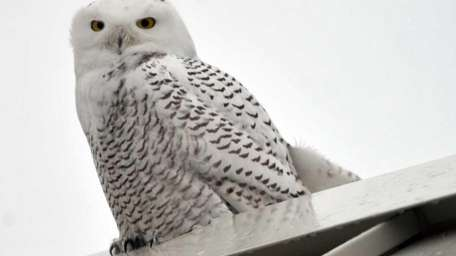 A snowy owl perches on the roof of