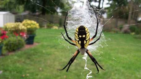 A zipper spider zips her web in reader
