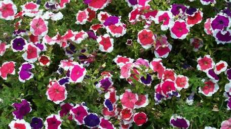 Petunia (Petunia) are available in a rainbow of