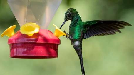 A Green Crowned Brilliant is pictured at a