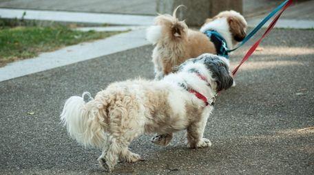 Two Shih Tzus take a walk together, perhaps
