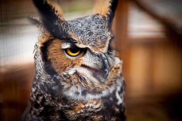 A female great horned owl called