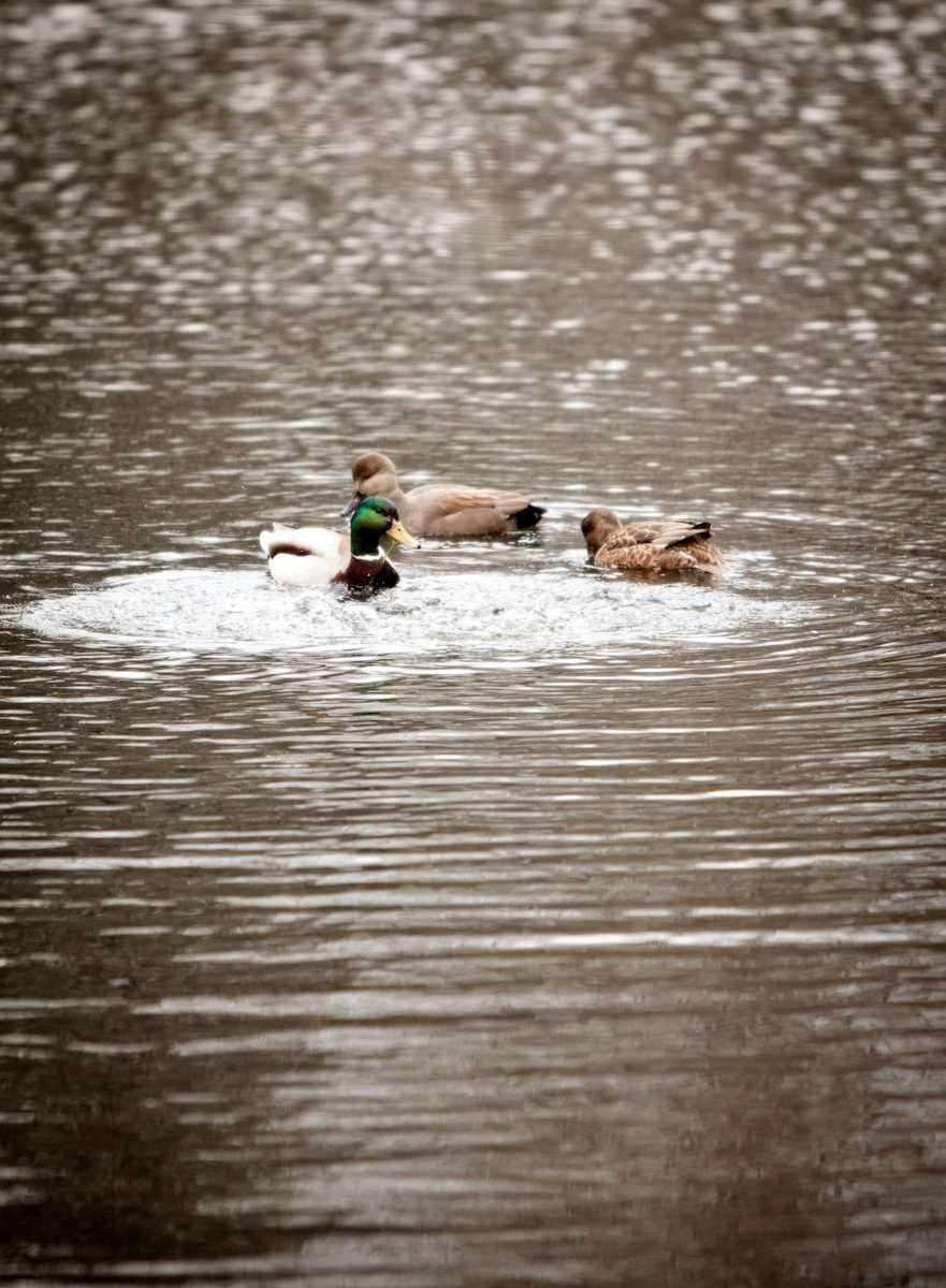 Mallard ducks swim in the pond at Bailey