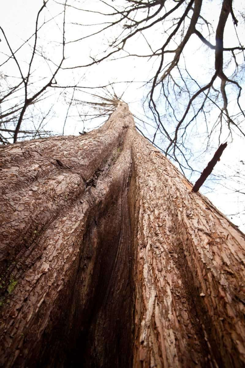 A dawn redwood tree reaches upward at the