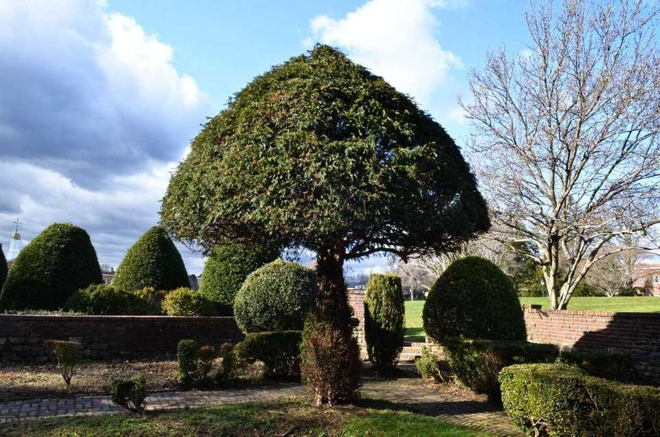 An English yew tree is a common sight