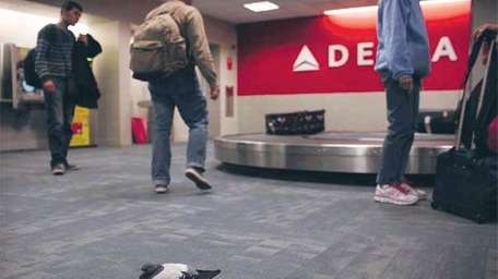 A pigeon is viewed near the Delta baggage