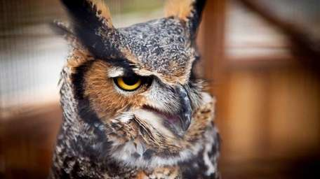 A female great horned owl sits inside the