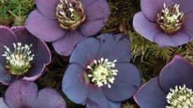 Hellebores actually bloom during winter.