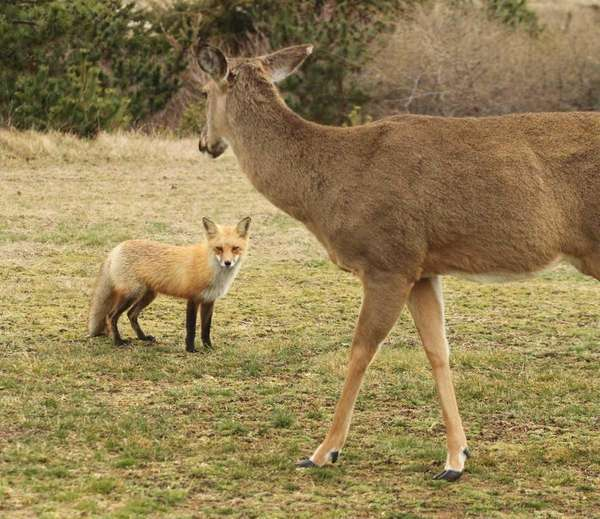 A red fox and a deer come in