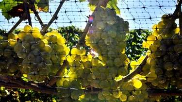 Sauvignon blanc grapes about two-three weeks before harvesting.