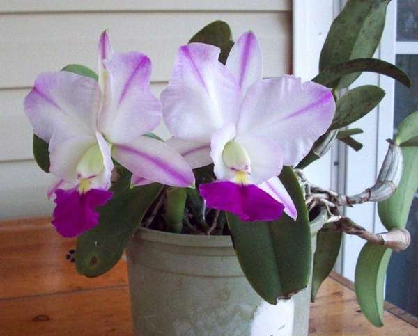 Cattleya Crownfox