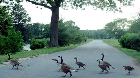 A gaggle of geese cross the road
