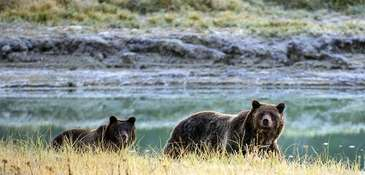 A grizzly bear mother and her cub walk