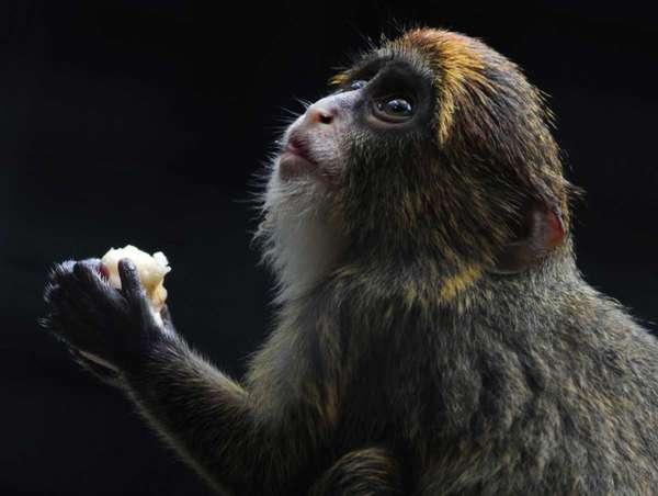 A juvenile De Brazza's monkey eats fruit at