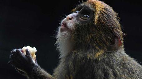 A juvenile De Brazza's monkey eats fruit at