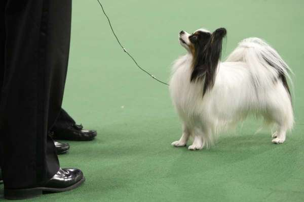 Lafford Fly Me Too Farleysbane, a papillon, looks