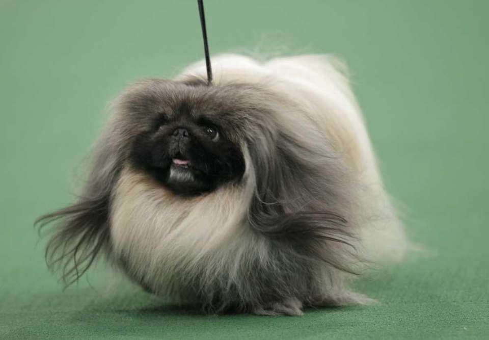 A Pekingese named Malachy walks across the floor