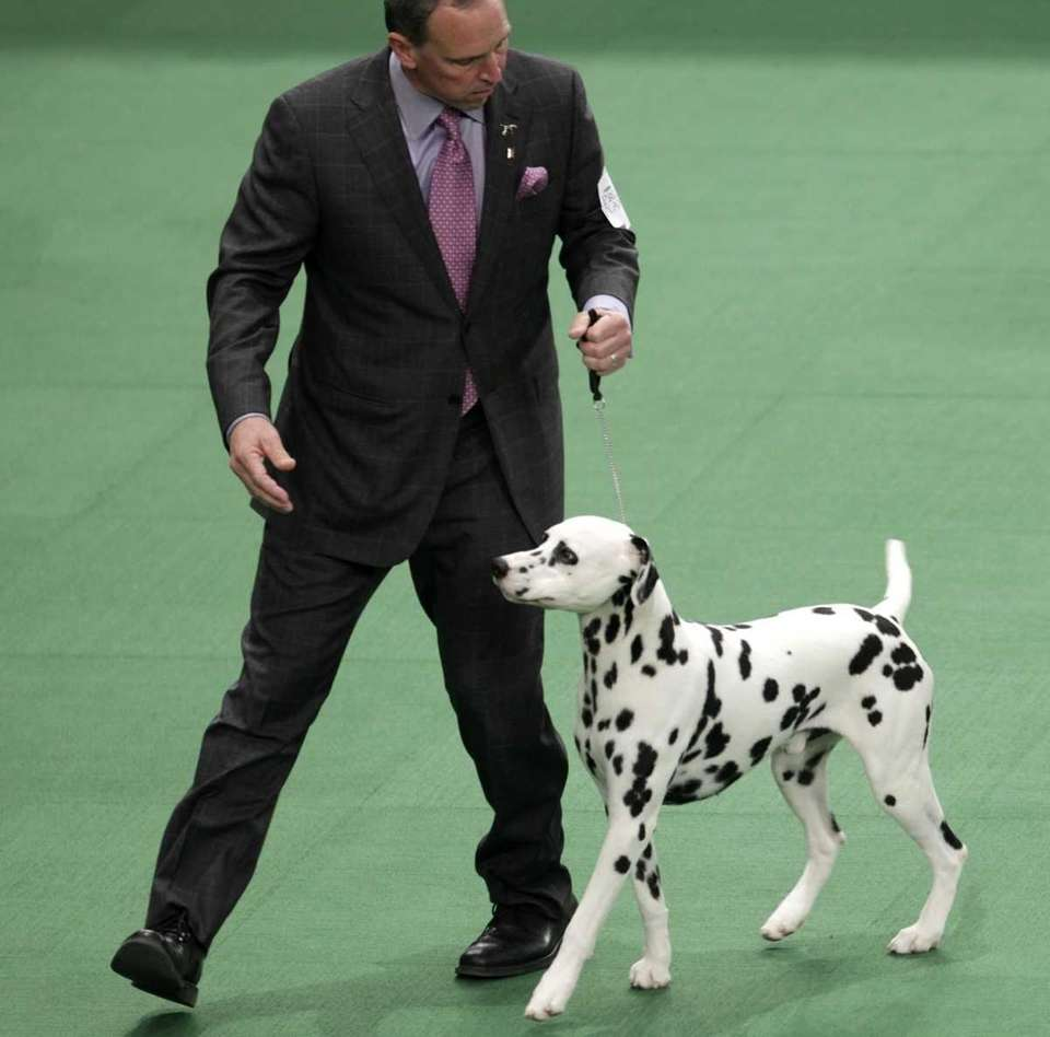 A Dalmatian named Ian, with his handler Michael