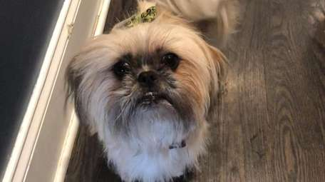 Lucy Belle, a Shih tzu-Pekingnese mix from Manorville.