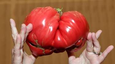 This 3-pound, 11.5-ounce tomato was grown by Dr.