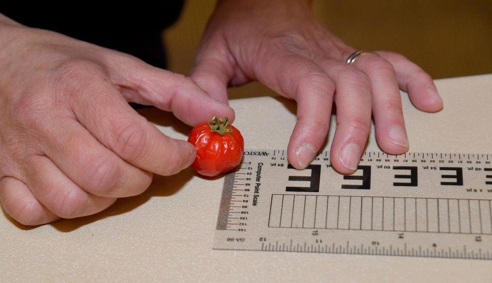 Joseph FerraroÕs small tomato is measured at Farmingdale