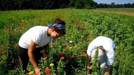 Farmers pick zinnias in the fields at Garden