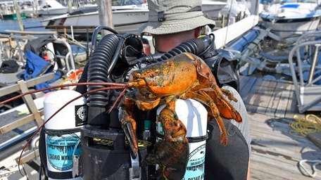 A lobster hitches a ride on a diving