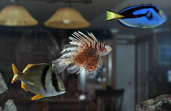 L-R: A pork fish, a lion fish and