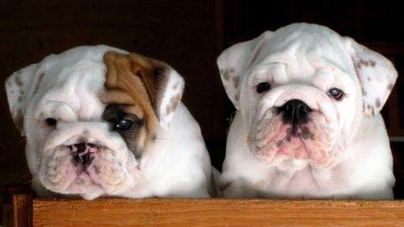 Bulldog puppies at Long Island Bulldog Club in