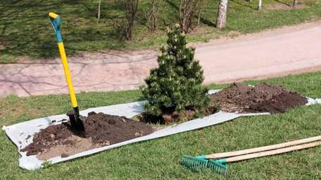 Both needled and broadleaf evergreens are best transplanted