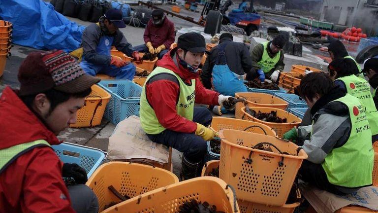 Volunteers assist workers to slice and pack seaweed
